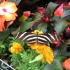 Cincinnati in Spring: Butterfly Show at the Krohn Conservatory