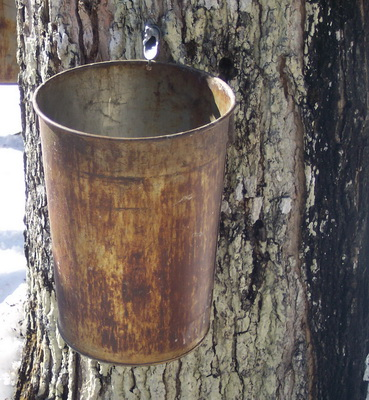 Maple Syrup Collection in Ontario