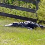 alligator-paynes-prairie