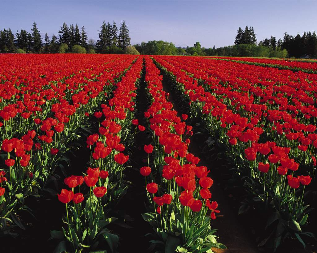 The OregonianSee fields of tulips at the Wooden Shoe Tulip Festival in Woodburn