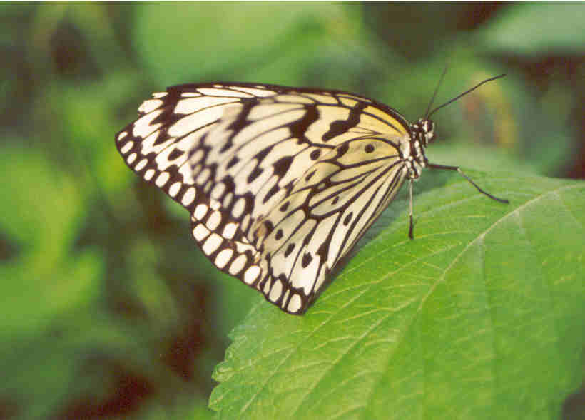 cpaperkite butterfly