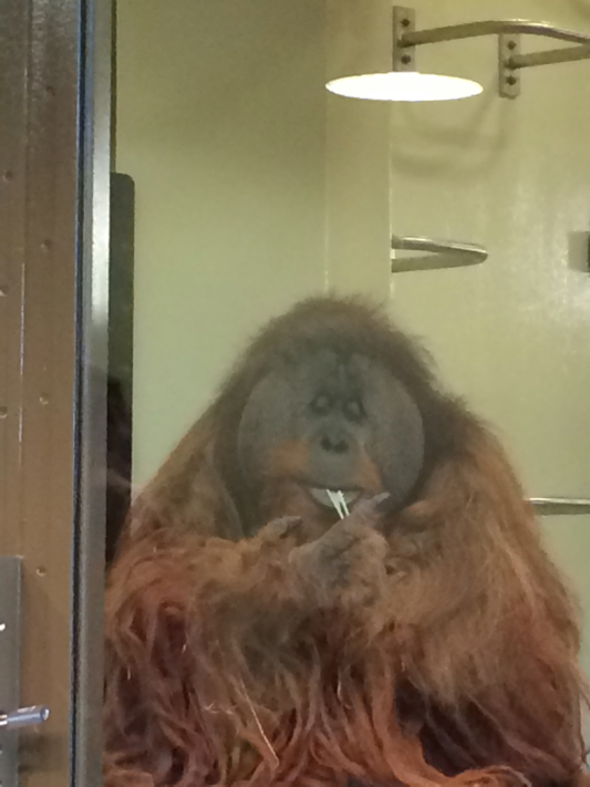 Orangutan Chews Gum