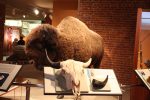 Meeting the bison at Frazier History Museum.