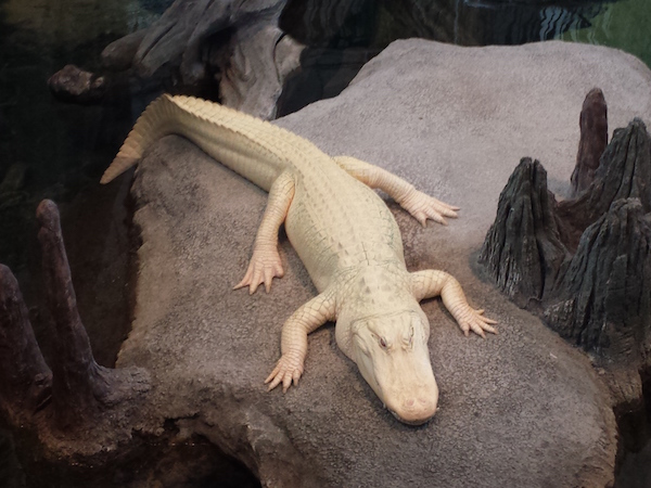 Albino Alligator at the California Academy of Sciences