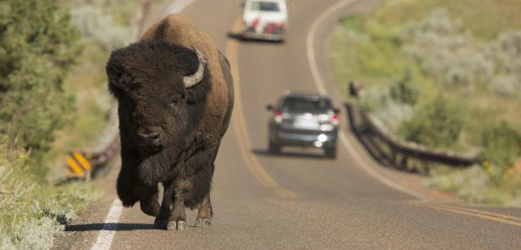 Buffalo on road large