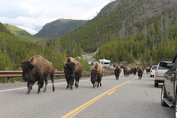 Buffalo on the Road