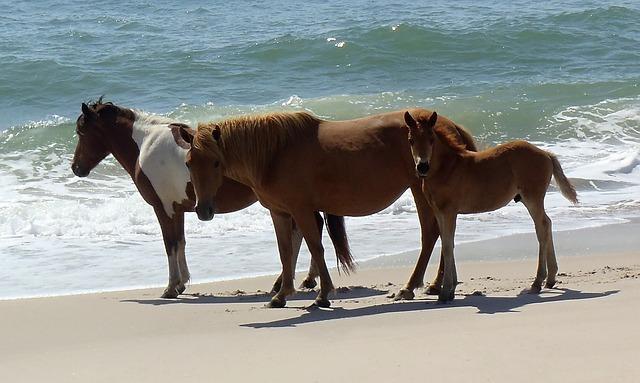 Wild Horses at Assateague Island National Park